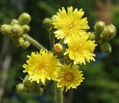 The flowers of the marsh sow-thistle (Sounchus palustris)