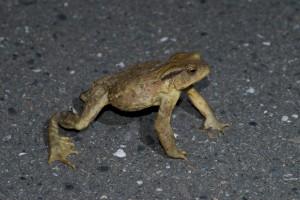 20080903_082 盤古蟾蜍警戒中 Taiwan Common Toad on alert