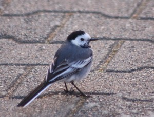 Pied Wagtail - a large roost found in Bexley.