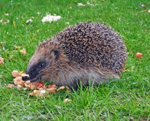 Hedgehog scavenging