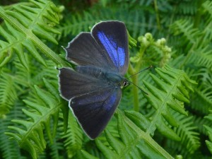 Male Purple Hairstreak