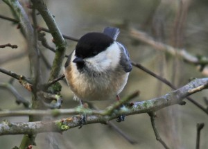 Willow Tit - 93% gone in just 40 years!