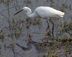 Little Egret - a species returning to Britain after becoming extinct in medieval times. Not the bird at Crossness.