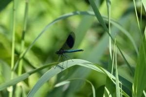 Male Banded Demoiselle. (Photo: Ralph Todd).