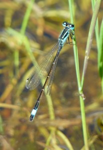 Blue-tailed damselfly at Foots Cray Meadows. This image nicely illustrates the bi-coloured pterostigma in this species (the small coloured cell near the end of the wing, on the leading  edge). (Photo: Ralph Todd).