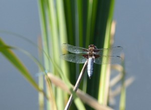 Male Broad-bodied Chaser. This species is quick to colonise new ponds like those recently created on the meadows.  (Photo: Ralph Todd).