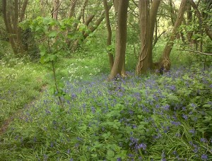 Churchfield Wood in spring is full of native Bluebells, Wood Anemone and Greater Stitchwort. Traffic thundering past on yet another major road would destroy the tranquility of the wood.