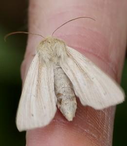 Probable Bulrush Wainscot moth . (Photo: Martin Petchey).
