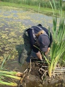 Karen getting down and dirty, hand-pulling Reedmace at Crossness.