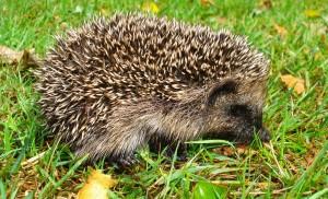 British Mamals - Hedgehog