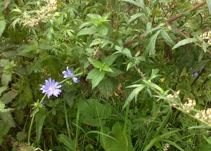 Wild Chicory (Cichorium intybus), a blue-flowered Dandelion relative, on the sewer pipe embankment. (Photo: Chris Rose)