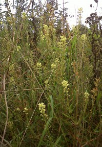 Wild Mignonette (Photo: Chris Rose)