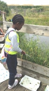 A youngster does some pond-dipping from one of the boardwalks at Crossness (Photo :  Karen Sutton)