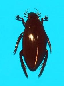 Hydrophilus piceus. Photo: Hectonichus