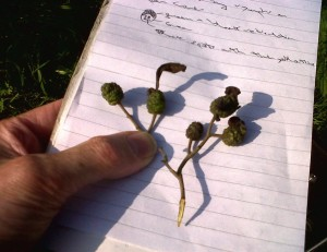 These Alder Tongue Galls from the Cray, show that the fungus Taphrina alni has spread into south-east England from the west.