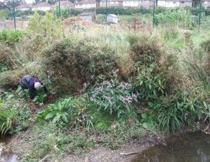 A Shuttle volunteer looks for embedded litter, before taking out the patch of Himalayan Balsam (centre) before it seeds.