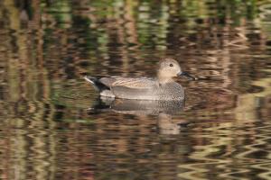 Gadwall (Anas strepera) on the lake at FCM.