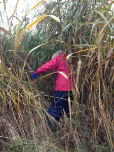 Ann disappears into a large stand of Common Reed during the  unsuccessful quest to find Harvest Mouse nests at Crossness. (Photo: Karen Sutton)