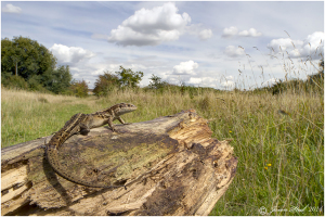 The war against Bexley's reptile populations has continued since the Erith Quarry decision, with no data-backed assessment whatsoever being made to determine whether planning decisions fall foul of the Council's supposed policy of opposing significant impacts on protected and priority species.   (Photo: Jason Steel)