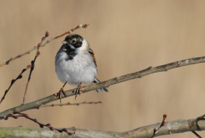 Male Reed Bunting (Photo: Ralph Todd)