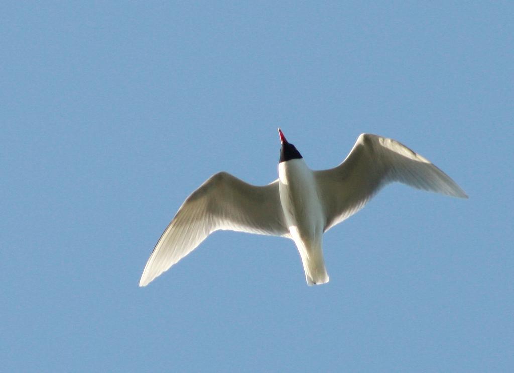 Mediterranean Gull (not the bird at Danson park though)