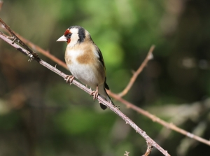 Goldfinch (Photo: Ralph Todd)
