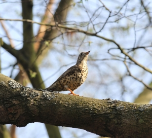 Mistle Thrush (Photo: Ralph Todd)