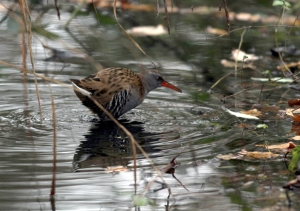 Relatively good, albeit brief, views of that elusive species the  Water Rail, were a highlight of the walk. (Photo, Ralph Todd)