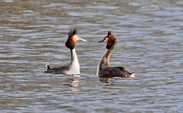 Bird walk attendees had a great view of these Great Crested Grebes indulging in their courtship display on Danson lake.  (Photo: Richard Spink)