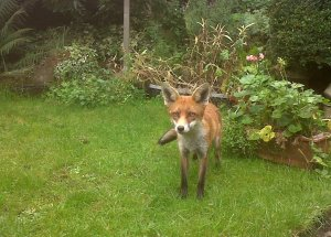 Fox in a Barnehurst garden (Photo: Chris Rose)