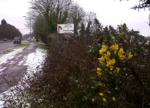 Gorse in flower in the Kelsey's farm hedgerow on the North Cray Road. (Photo: Chris Rose)