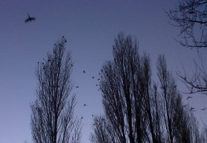 Ring-necked Parakeets flying into the Poplars where they spend the night. (Photo: Chris Rose)
