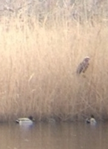 This Marsh Harrier, seen from a distance sitting in a Reedbed at  Crossness, is currently protected by the EU Birds Directive. (Photo: Karen Sutton)