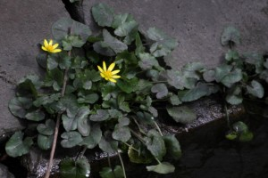 Lesser celandine by the danson outflow. (Photo: Mart in Petchey)