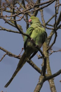 Ring-necked Parakeet in Bexley Park Woods. (Photo: Martin Petchey)