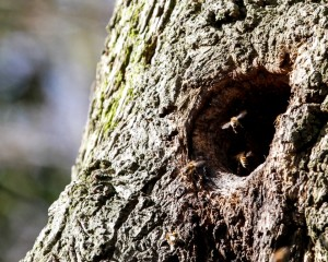 Honeybees using tree cavity as a natural nest site. (Photo: Tim Briggs)