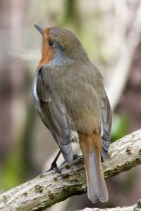 Robin in Bexley Park Woods. (Photo: Tim Briggs)