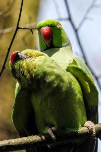 Ring-necked Parakeet pair. (Photo: Tim Briggs)