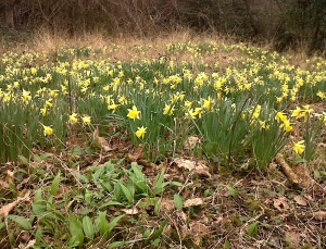 Native Daffodils and Wild Garlic in Lesnes Abbey Woods (Photo: Chris Rose)
