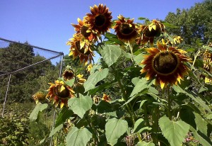 Colourful sunflowers brighten an allotment site in Bexley, providing nectar followed later on by seedheads for birds. (Photo: Chris Rose).