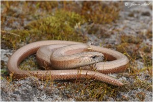 The Slow worm is a protected species, but 'developer'  Andersons has already  coralled more than 500 into a space they themselves have calculated should only support just over 200. (Photo: Jason Steel).