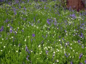 Bluebells and Greater Stichwort (Photo: Brenda Todd)