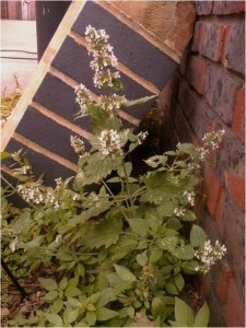 The true native Catmint (Nepeta cataria) found on the forecour of a garage in Long Lane, Bexleyheath. (Photo: Chris Rose)