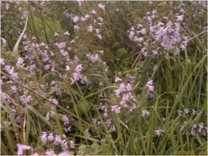 London's only colony of Lesser Calamint occurs at Lesnes. (Photo: Chris Rose)