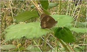 The Ringlet butterfly - new to Thames Road Wetland and several other sites in 2014. (Chris Rose).