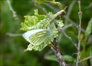 This Green-veined White at Crossness on 30th March was the first reported to Butterfly Conservation from anywhere in the UK this year. (Photo: Mike Robinson).
