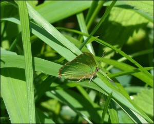 First Crossness Green Hairstreak of 2015. (Photo: Mike Robinson).