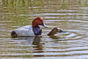 This photo by Richard Spink of a pair of Pochard mating at Crossness on 4th May has raised hopes of youngsters being raised at the site.