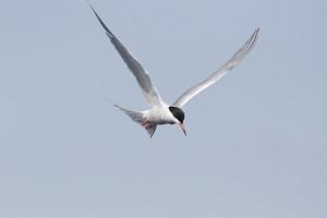 Common Tern (Photo: Ralph Todd)