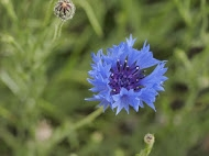 Cornflower, an arable 'wwed' now rare in the countryside due to modern agricultural methods, had come up from a wildflower seed mix. (Photo: John Tolliday)